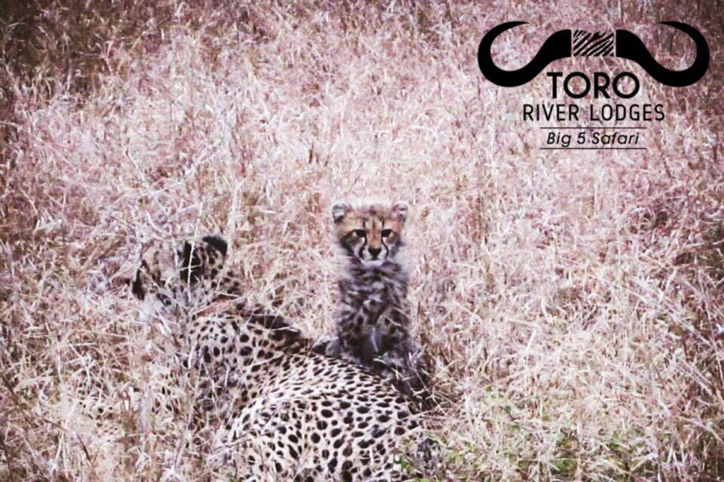 Cheetah | Toro River Lodges