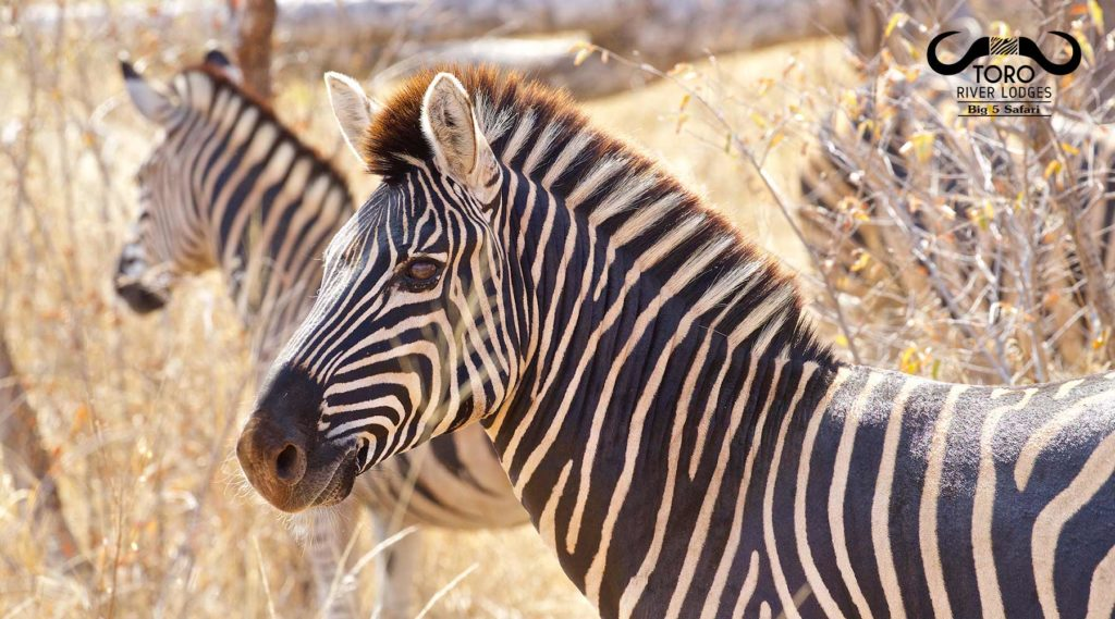 Zebras | Toro River Lodges